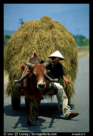 Cow carriage loaded with hay. Mekong Delta, Vietnam (color)