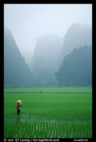 Woman tending to the rice fields, with a background of karstic cliffs in the mist. Ninh Binh,  Vietnam (color)