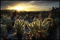 Cholla Cactus Garden, Joshua Tree National Park.