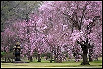 Cherry trees in bloom, Kyoto, Japan.